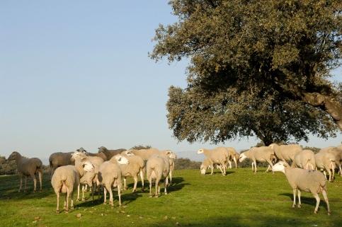 El crédito final para las ayudas al fomento de las razas autóctonas y de las hembras lecheras asciende a 190.000 euros