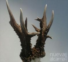 Record nacional de caza en Guadalajara