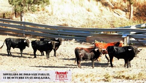 Desembarcados y aprobados ocho novillos de Polo Saiz para la sin caballos en Guadalajara