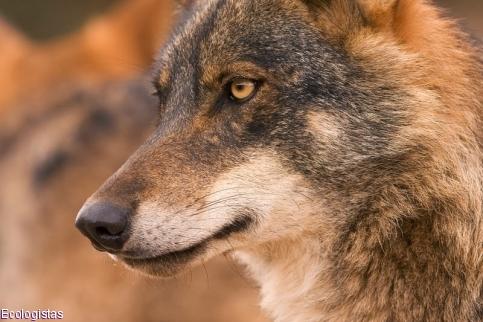 El lobo precisa de atención