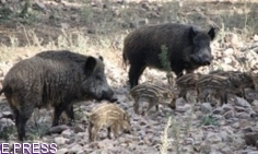 El nuevo orden de vedas contempla un periodo de caza de jabalí para reducir su población