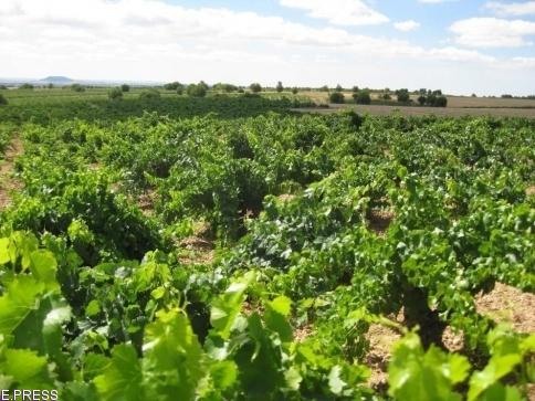 Publicada la orden de ayudas a los planes de reestructuración y reconversión de viñedo
