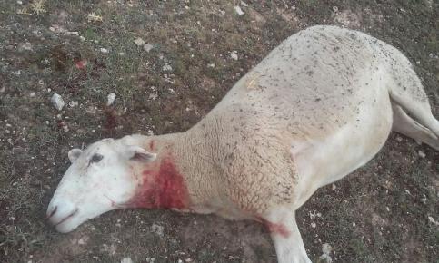 Los ataques de lobos al ganado se multiplican en la Sierra Norte