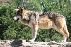 Abierto el plazo para solicitar ayudas por los daños por ataques de lobo a ganado dotadas con 40.000 euros