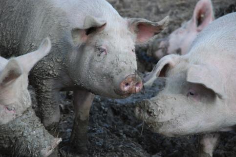 Prosigue la polémica por las macro granjas de cerdos, esta vez en Castellar de la Muela