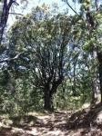 Ayuntamiento de Yebes realiza una catalogación de noventa árboles singulares a los que quiere dar especial protección