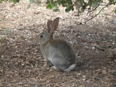 El decreto que revisará si el conejo de monte es especie de interés preferente, a información pública desde este martes