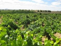 """El presidente de la DO Mondéjar prevé que se consigan unos caldos """"sanos y de calidad"""" con la cosecha de este año"""