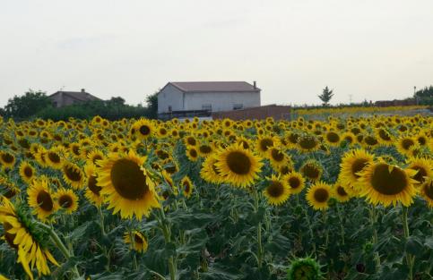 La siembra de girasoles  se reduce en 2.200 hectáreas en Guadalajara