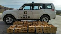 Decomisan 160 kilos de níscalos recogidos en montes públicos de La Mierla y Tamajón