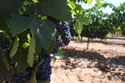 La Junta ya ha aprobado ayudas por valor de más de 46 millones a la reestruturación del viñedo