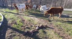 Nuevos ataques de lobos ponen en guardia a los ganaderos de Guadalajara