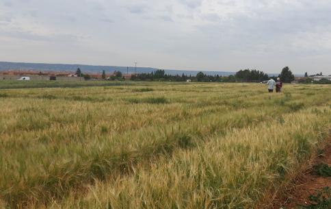 Agroseguro empieza a tasar las cosechas campiñeras por la seguía la próxima semana