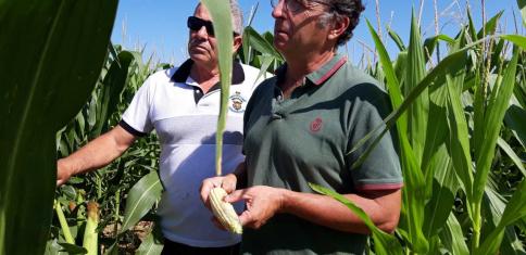 APAG denuncia el robo de mazorcas de maíz en pueblos de la Campiña