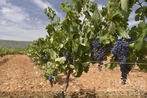Castilla-La Mancha prevé una vendimia de entre 20 y 23 millones de hectolitros,