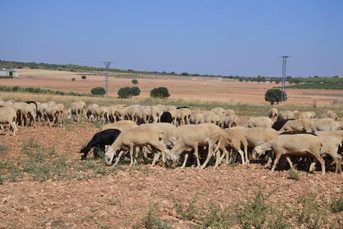 El DOCM publica este viernes las ayudas para ganaderos de extensivo para paliar los daños por ataques de buitre