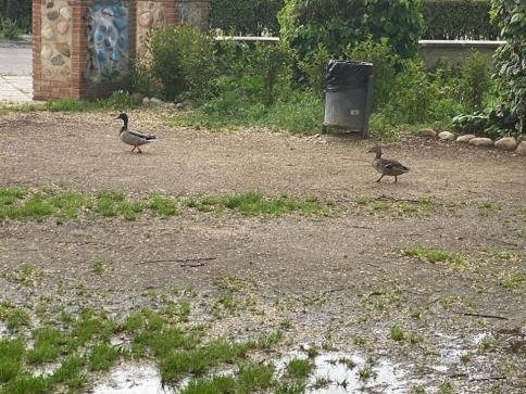 Los patos exploran Alovera al encontrar las calles vacías por el confinamiento