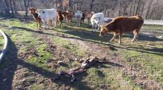 Un total de 86 ganaderos reciben hoy más de medio millón de euros de ayudas asociadas de la PAC para vacas nodrizas