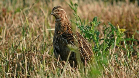 La codorniz y la paloma torcaz mantienen los periodos de caza