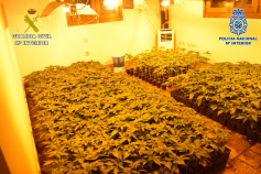 Cae una red que cultivaba y distribuía droga al por mayor desde El Casar, Trijueque y Venturada