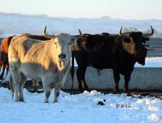 Drama en la ganadería brava de 'El Uno'
