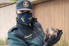 La Guardia Civil de Cogolludo ha recuperado esta mañana un gavilán